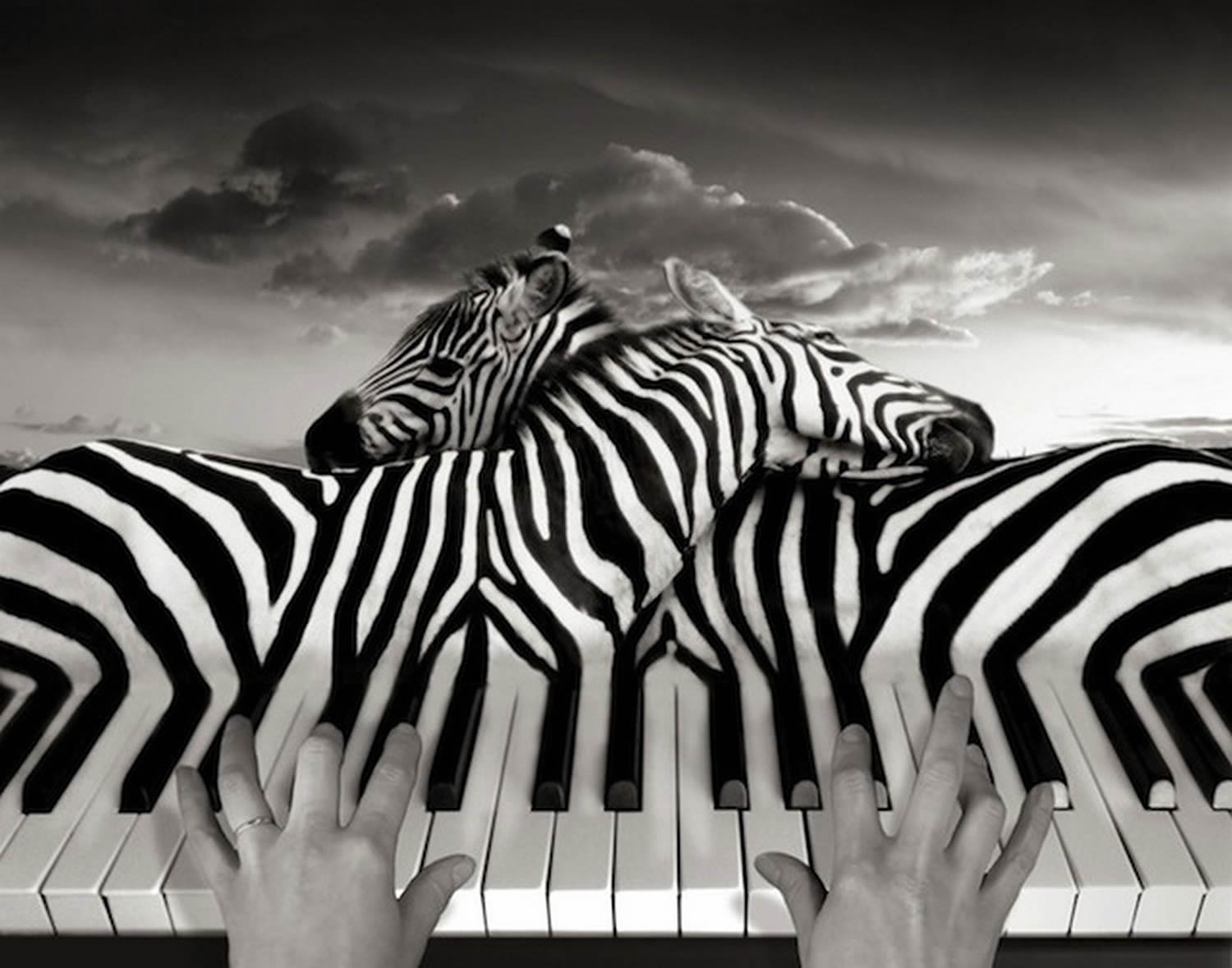 piano and zebra surreal photo by thomas barbey