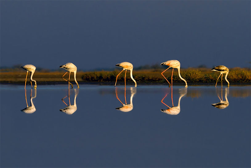 Pink Flamingo Reflection in Water