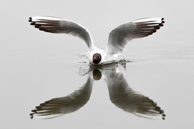 Black-headed gull reflection