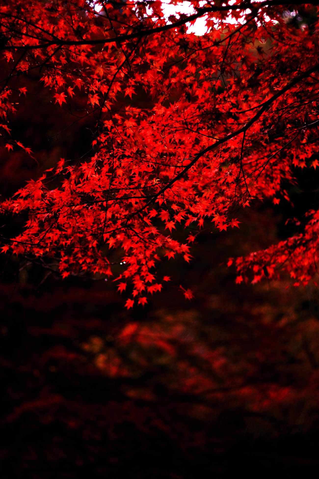 red leaves photo by arixxx