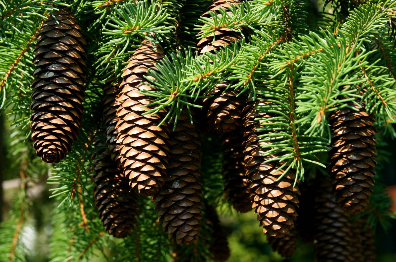 pine cone conifer