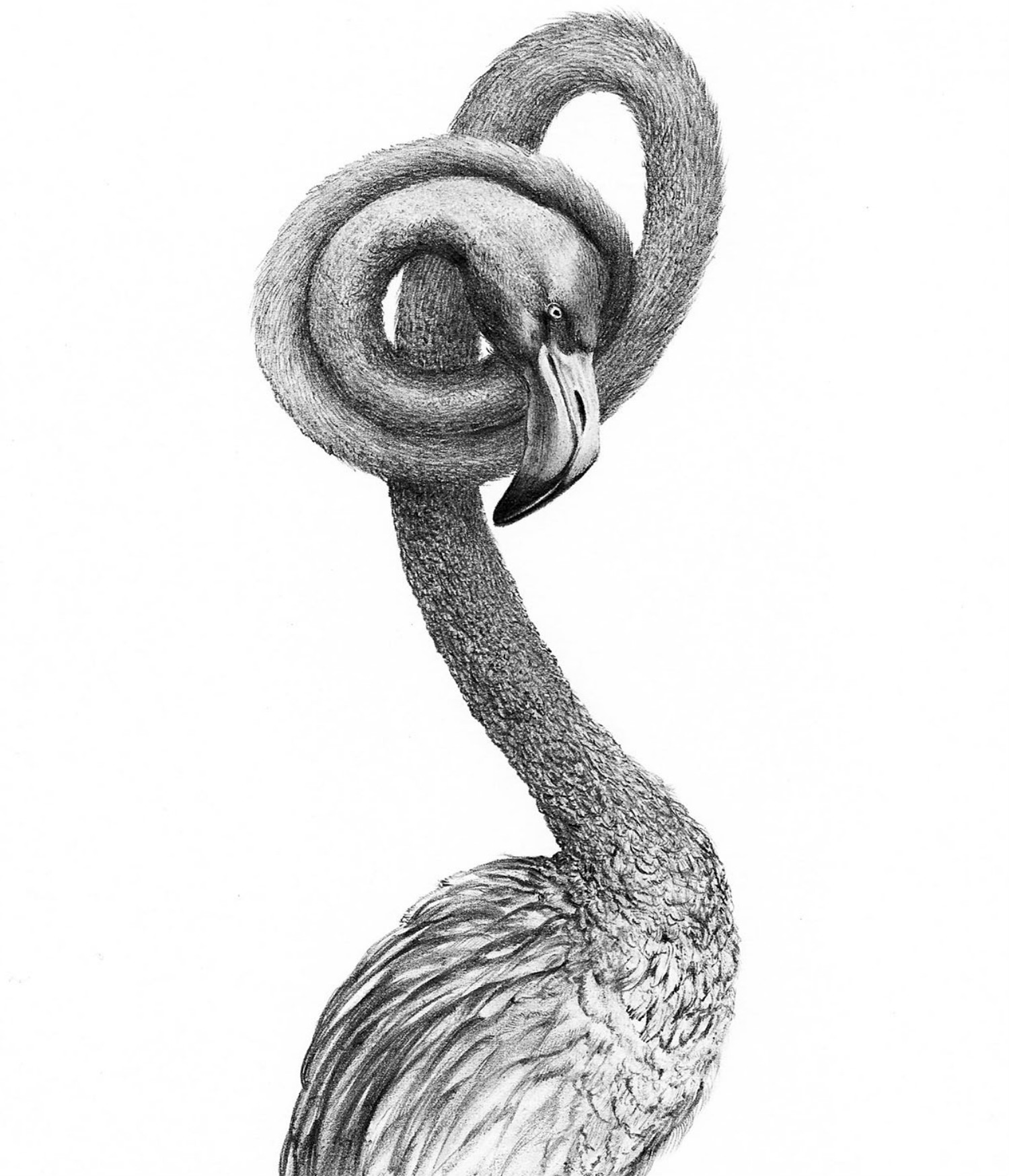 Alejandro García Restrepo illustration black white pencil flamingo