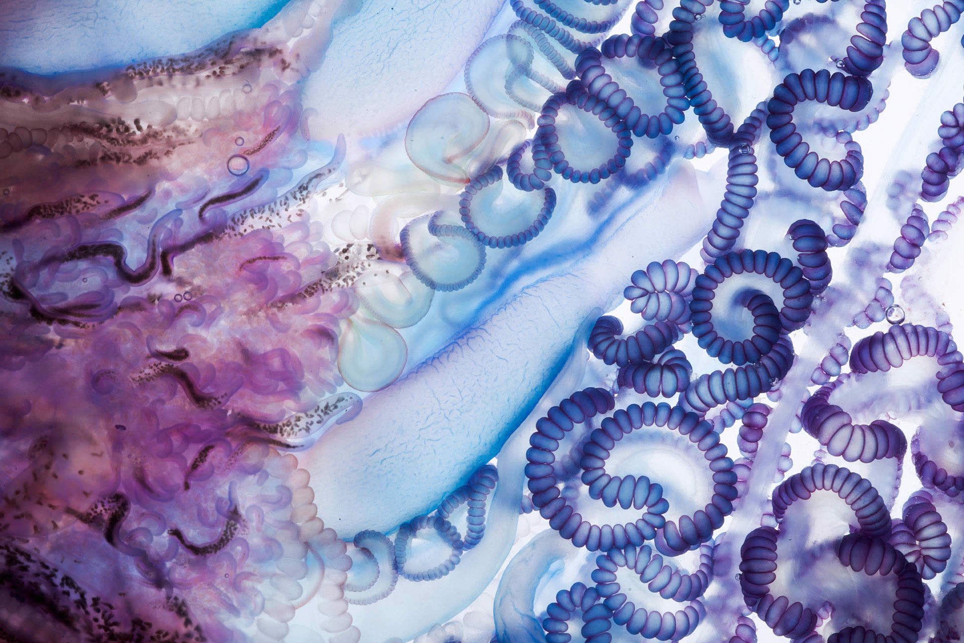 close-up of portuguese man o war by Aaron Ansarov