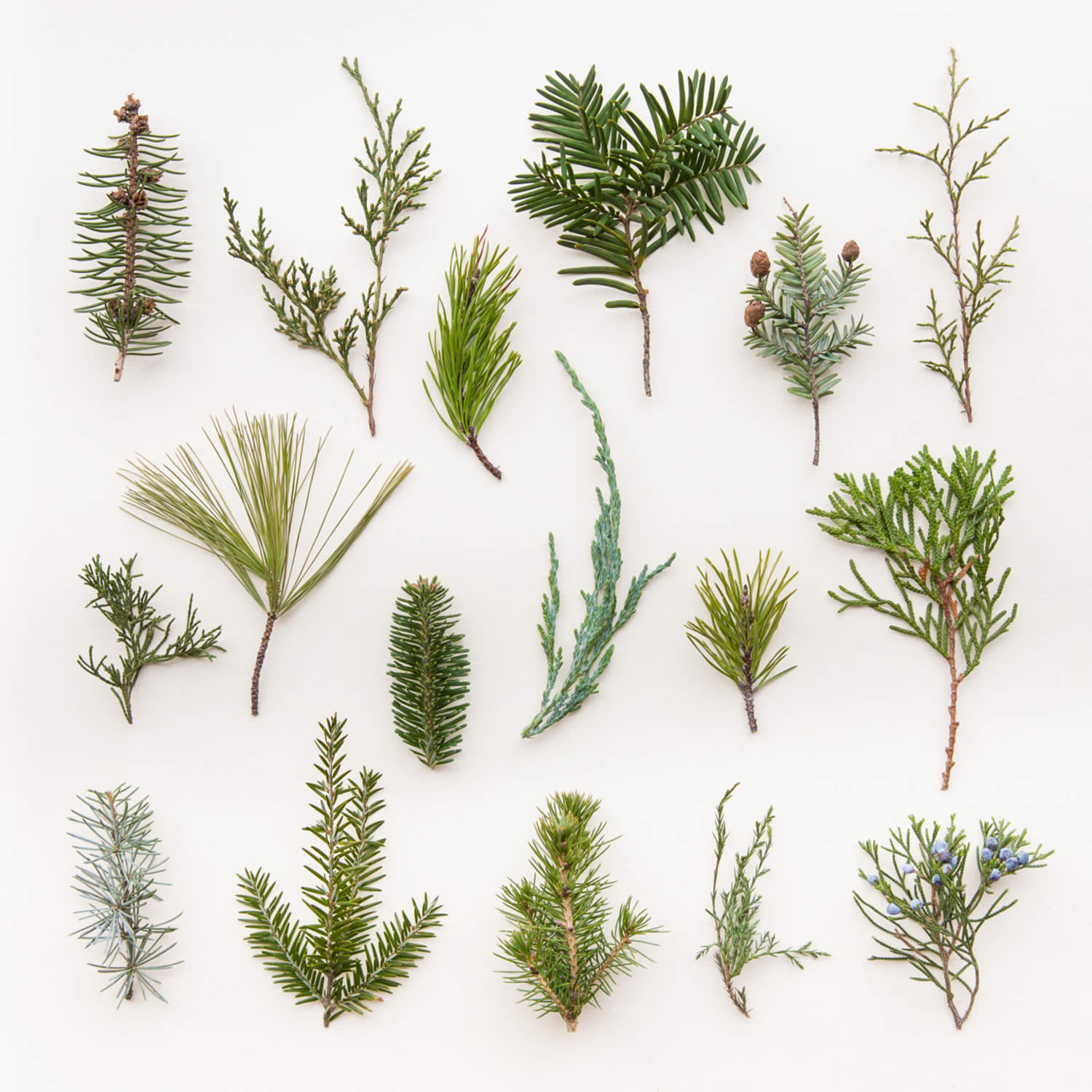bits of pine leaves, photography