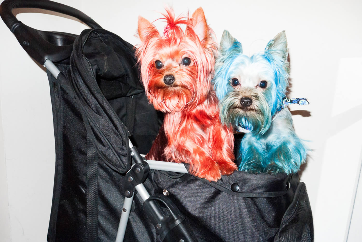 terriers (dogs) dyed in pink and blue
