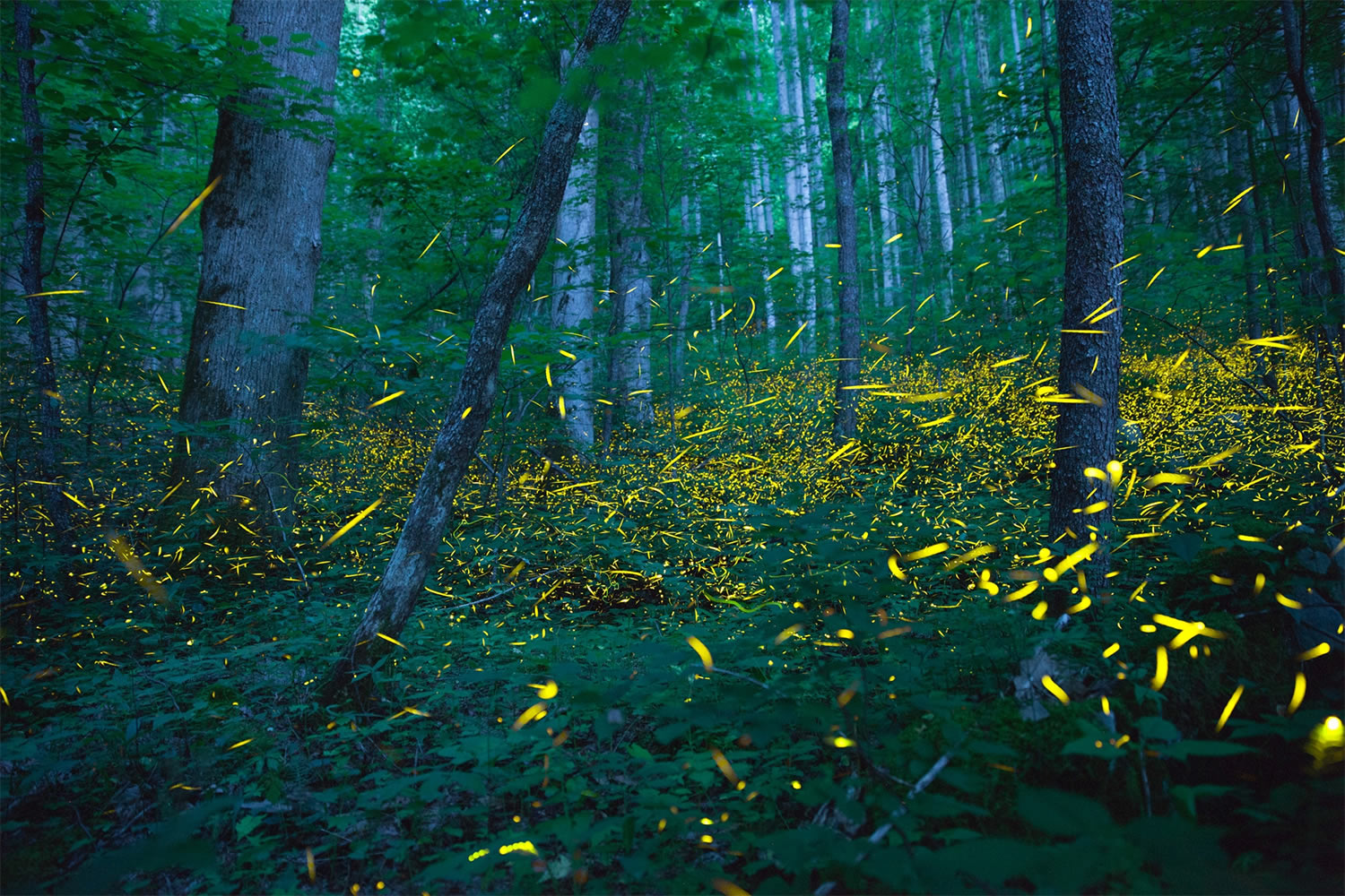Fireflies in the Smokies, photo by jack hynes