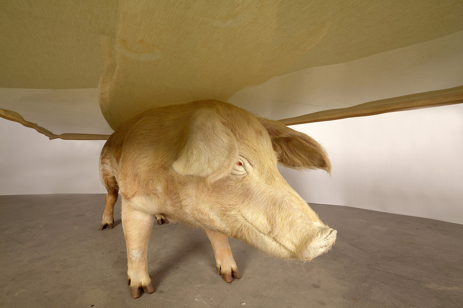 Armin Blasbichler - ORSON I, pig taxidermy table, close-up