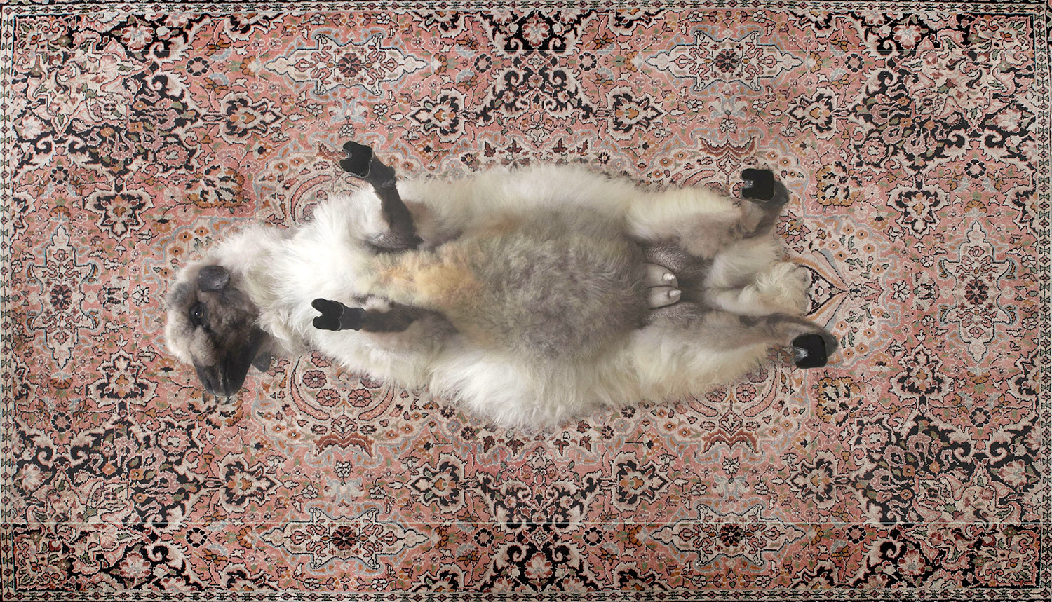 Armin Blasbichler - ORSON III, sheep taxidermy table, top view