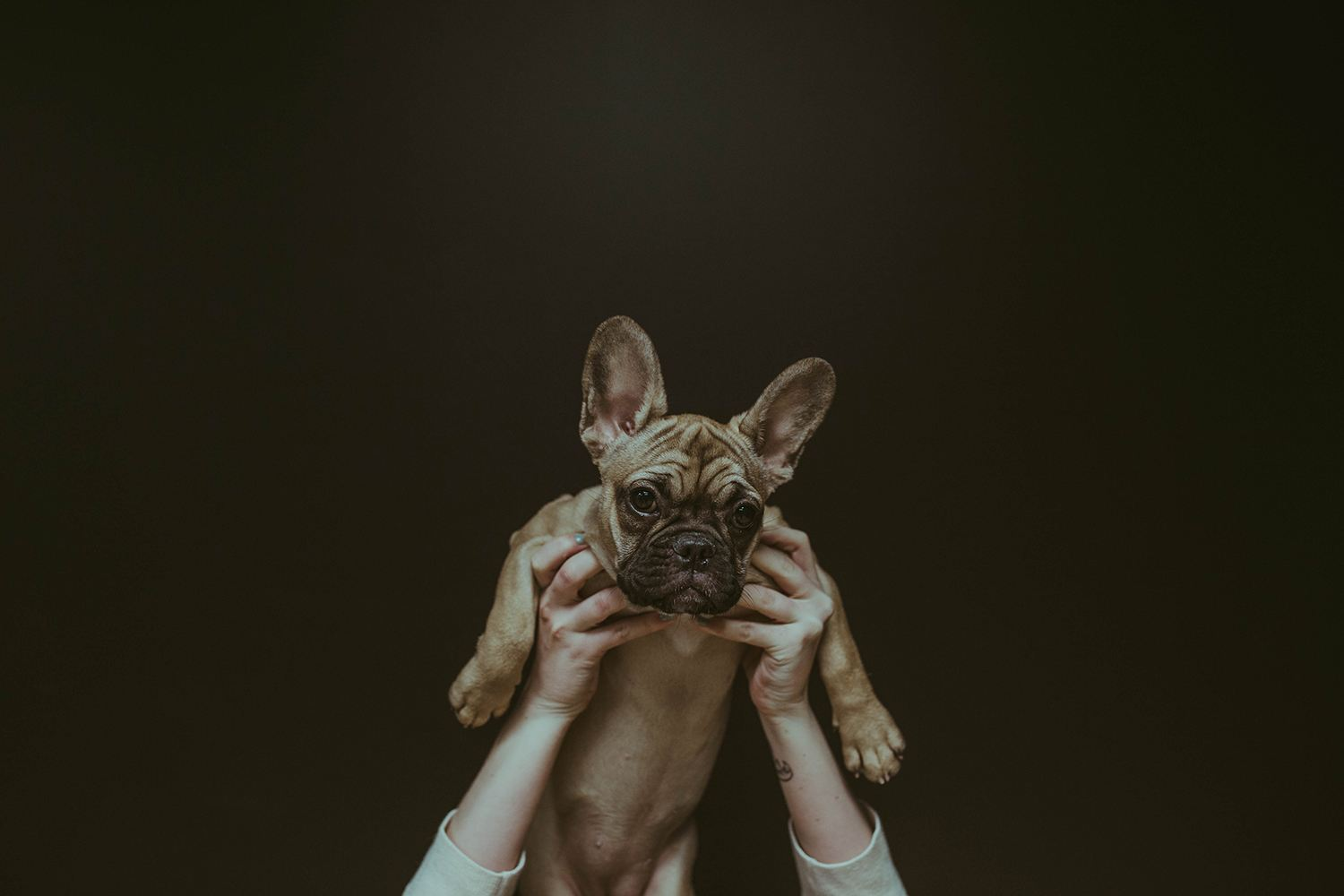 french bulldog, free photos