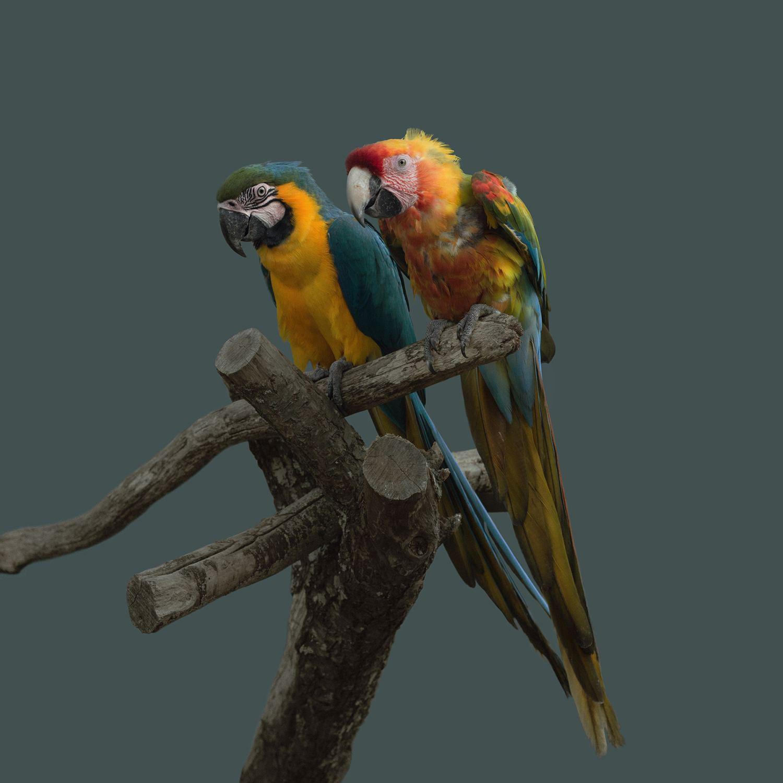 parrots, l Animal Portrait by Atsuko Tateno